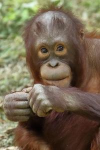 僕の名前は「アピ」、オランウータンの3歳の男の子です。僕のことを「若ハゲ」なんて言わないでね(多摩動物園) - 旅プラスの日記