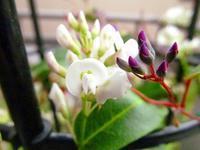 ハーデンべルギアの植え替え - 花☆枯れました!
