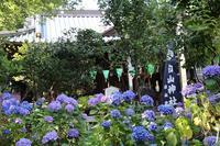 白山神社のアジサイ - 子猫の迷い道Ⅱ