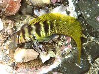 ナベカ 葉山潮間帯 Omobranchus elegans  Steindachner, 1876 - 葉山の美味しいダイビング生活