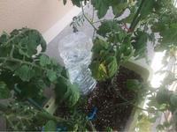 ベランダ菜園の水やり - 蒼穹、そぞろ歩き
