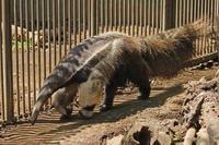 「アニモ&アイチ」~オオアリクイ一族の野望!!~(江戸川区自然動物園) - 続々・動物園ありマス。