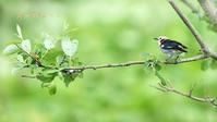 コムクドリ - 北の野鳥たち