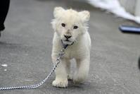2018.2.18 東北サファリパーク☆ホワイトライオンのひふみたん岩手出張<その5>【White lion baby】 - 青空に浮かぶ月を眺めながら
