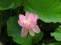 ハスの花、開花しました。 - 千葉県いすみ環境と文化のさとセンター