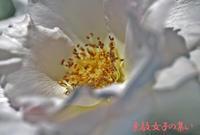 我が家の薔薇~サフィレット&地震のこと - ♪Princess Craft  シニア素敵女子の集い