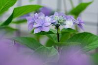 我が家のアジサイ - 花と風景 Photo blog