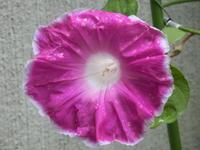 今朝、朝顔の花が今夏初めて咲きました。 -  「幾一里のブログ」 京都から ・・・