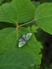 ヒロオビミドリシジミ開翅 - 自然を楽しむ