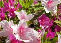 オオマルハナバチ~春のむいむいをみつけようの前に~ - むいむいのお時間