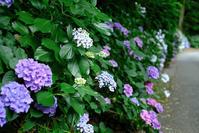 紫陽花 #4 - 長い木の橋