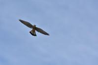 チョウゲンボウの飛翔 - 季節の映ろひ