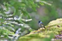 亜高山の鳥  その1 - 瑞穂の国の野鳥たち