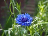 宝石のような美しいブルーの花 - 神戸布引ハーブ園 ハーブガイド ハーブ花ごよみ