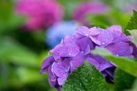 日曜は雨の紫陽花 - 柳に雪折れなし!Ⅱ