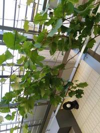 夢の葡萄地獄 - ガンコじいさんと葡萄の木