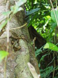 オキナワキノボリトカゲ(沖縄県浦添市201806 #5) - Blog: Living Tropically