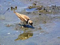 コチドリの餌獲り・・・葛西臨海公園鳥類園 - 『私のデジタル写真眼』