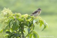 おしゃべりノビタキ - ekkoの --- four seasons --- 北海道