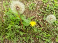 Dandelion - Strike while the iron is hot.