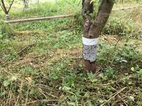 桃アブラムシ対策 - 自然栽培 果樹カナン