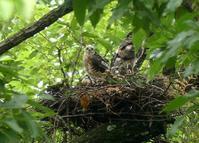 ツミの巣(6)・・・八王子 - 浅川野鳥散歩