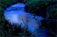 白砂川の蛍 - duke days