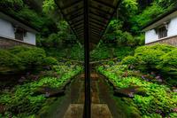 九輪草咲く雨の古知谷阿弥陀寺 - 花景色-K.W.C. PhotoBlog