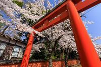 桜咲く京都2018鳥居とソメイヨシノの光景(竹中稲荷) - 花景色-K.W.C. PhotoBlog