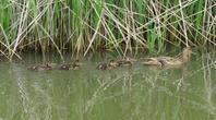 マカモお母さんとちびっこちゃん - 湿原と海のそばで