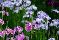 水生植物公園みずの森・花菖蒲 - ちょっとそこまで