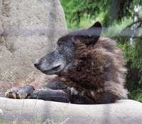 旭山動物園のオオカミたちや猫たちなど&ルル - 黄金絹毛鼠(コガネキヌゲネズミ)