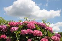 紫陽花が見頃だよ(^O^)/ - ケアホーム穂の香(ほのか)、ケアホームあや音(あやね)、デイサービス燈いろ(といろ)の日常