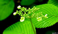 ムシカリの花が咲いたら、ネムの花が咲くころまで - 西蔵坊だより