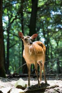 奈良公園の鹿より♪ - Lovely Poodle