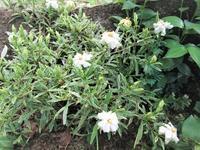 斑入り葉クチナシ - だんご虫の花