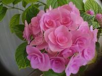 ピンクの紫陽花 - memory