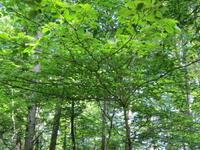 伐採 - モルゲンロート