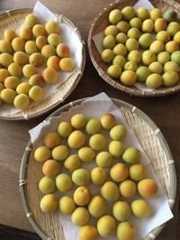 梅を仕込む - チーズとかぼちゃと猫と森の中