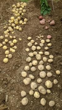 ジャガイモ収穫 - ひげ親父の日々是好日