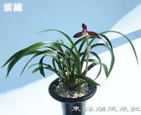 紫織(しおり)No.1882 - 東洋蘭風来記奥部屋