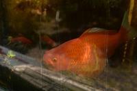 巨大な金魚 - 光画日記