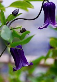 ベランダはただ今、紫! - 東京ベランダ通信
