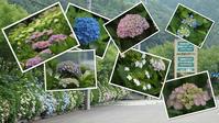 『本巣市佐原の紫陽花園・・・・・』 - 自然風の自然風だより