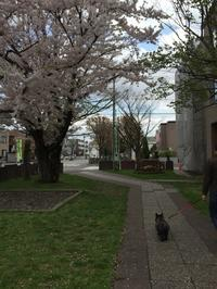 今さらですが、今年の桜 - ブランシュフルール ネイル