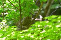 初見のオオコノハズク - 季節の映ろひ