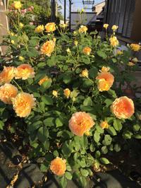 庭の薔薇 〔2018/6/14〕 - 春&ナナと庭の薔薇