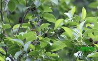 2018年05月30日 狭山丘陵だより ミドリシジミ - 愛野緑の撮影記録