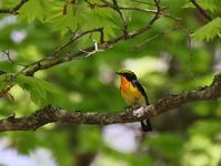 高原でのキビタキ、 - ぶらり探鳥