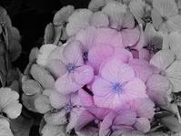 紫陽花はうそつき?(The hydrangea is a liar?) - ももさえずり*紀行編*cent chants de chouette
